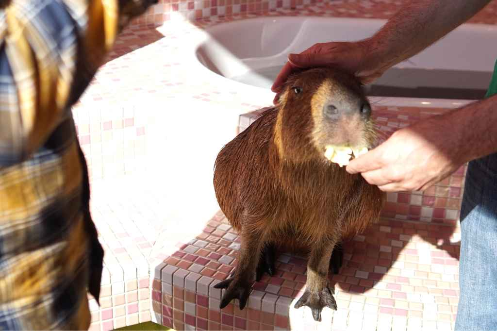 Feeding the capybara