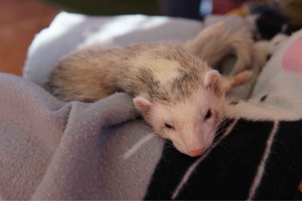 Another sleepy ferret