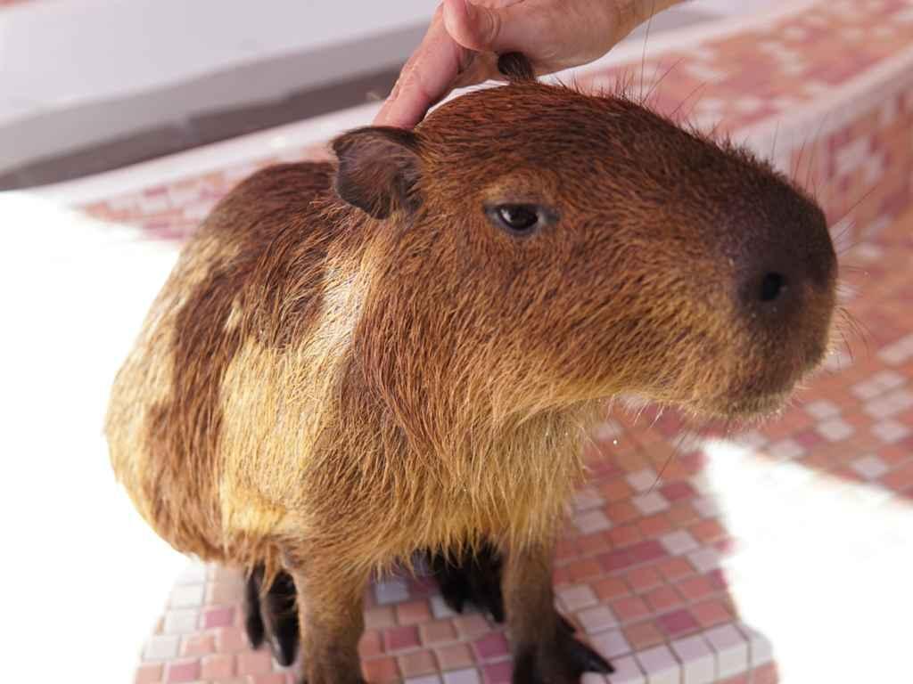 Harajuku Kawaii Zoo Capybara